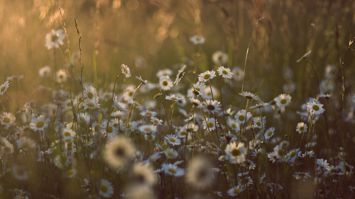 flowers, photo, chamomile, nature, sunset, spring, macro