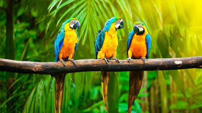blue, yellow, tropics, birds, palm trees, jungle, animals, background, nature, branch