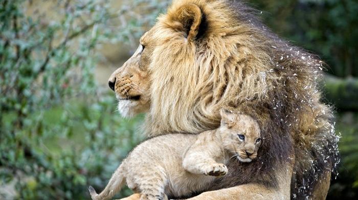 macro, photo, predator, kid, nature, animals, lion