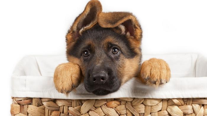 dog, basket, puppy, animals, sight