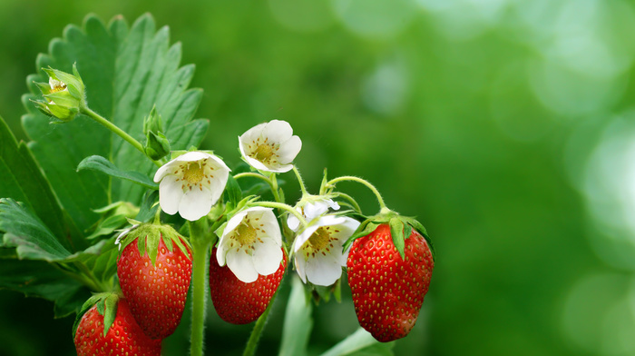 spring, macro, photo, strawberry, flowers, nature