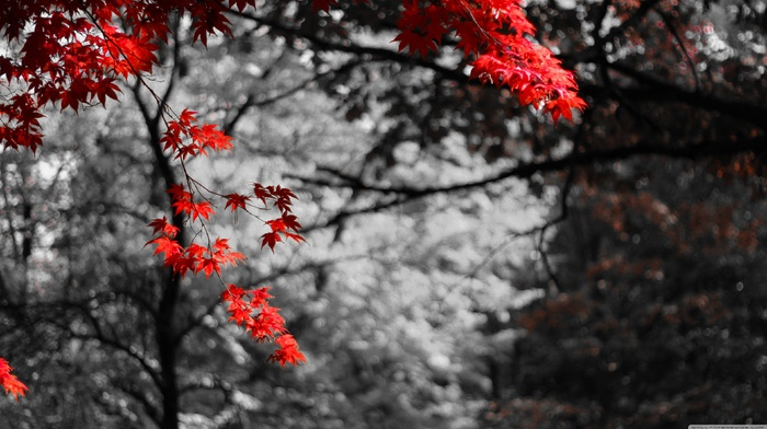 nature, bokeh, selective coloring, trees, maple leaves, photo manipulation
