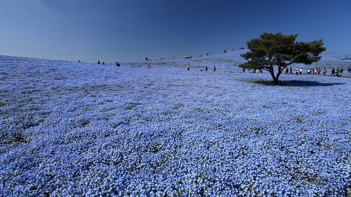 flowers, tree, park, sky, beauty, Japan, bloom