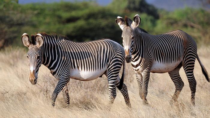 stripes, beauty, animals