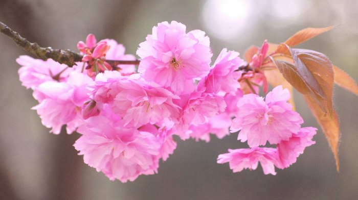 stunner, beauty, flowers, sakura