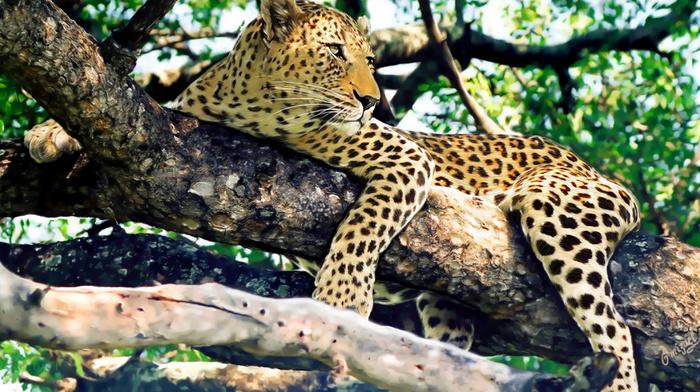 predator, leopard, trees, animals, nature, twigs