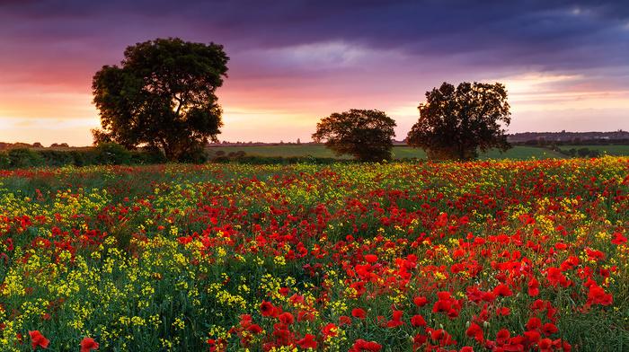 poppies, sunset, field, evening, nature, summer, flowers