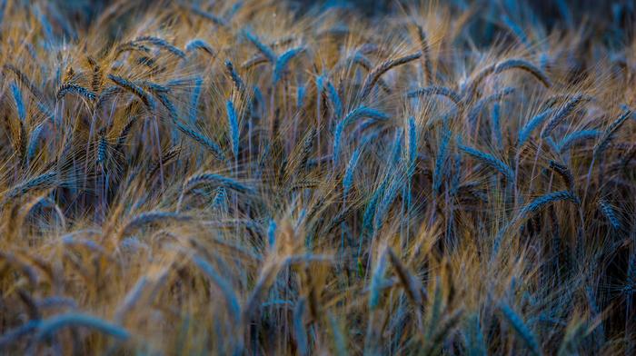 photo, wheat, summer, macro, Ukraine, nature, blue, beautiful
