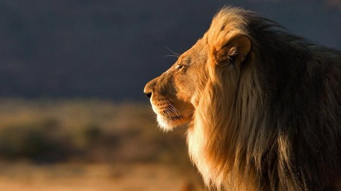 animals, nature, lion, predator