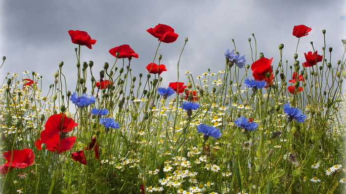 sky, cloudy, flowers, summer, field, poppies, chamomile