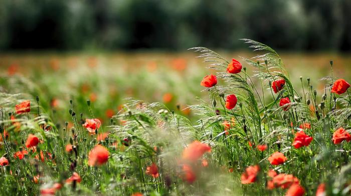 poppies, flowers, trees, macro, nature, field, photo