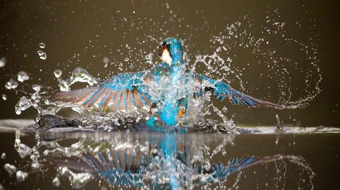 beauty, water, splash, bird, stunner, wings