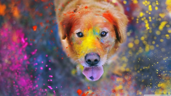 looking up, paint splatter, dust, animals, tongues, dog, bokeh, Labrador Retriever, colorful, looking at viewer