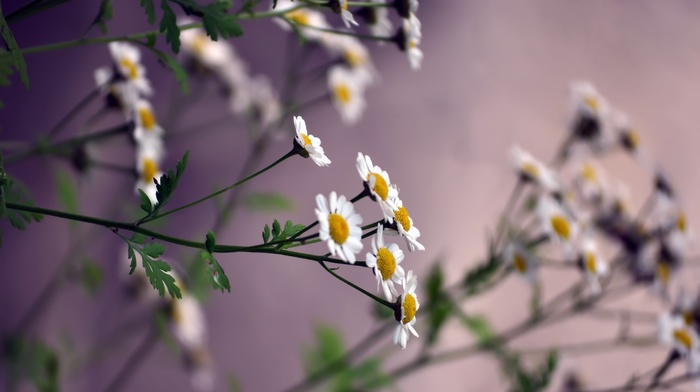 flowers, background, chamomile, nature