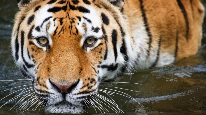 nature, tiger, animals, water, mustache, predator