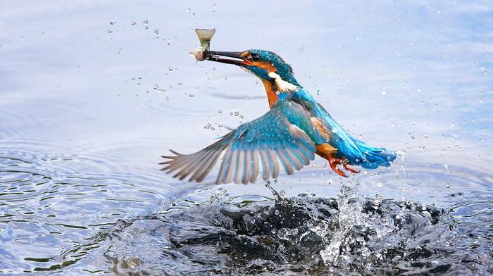 bird, splash, stunner, wings, beauty, water