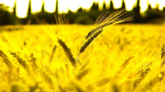 wheat, beautiful, macro
