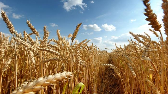 crops, wheat, field