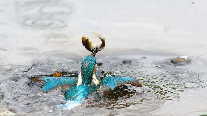 feathers, bird, splash, water, stunner, beauty, wings