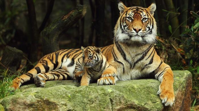 природа, мамка, камень, хищники, кошки, тигренок, деревья, тигры, животные, лес