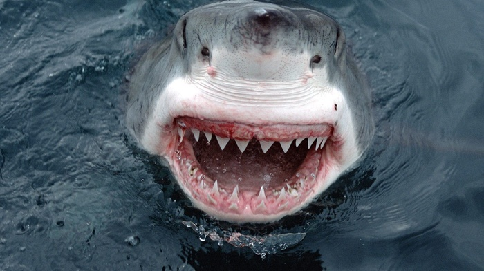 smiling, Great White Shark