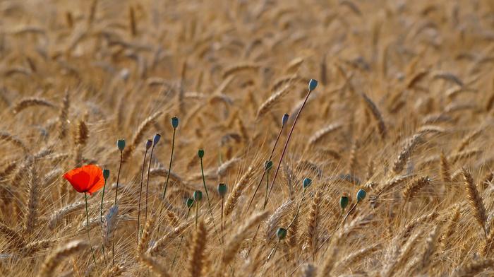 nature, poppies, Ukraine, wheat, field, macro