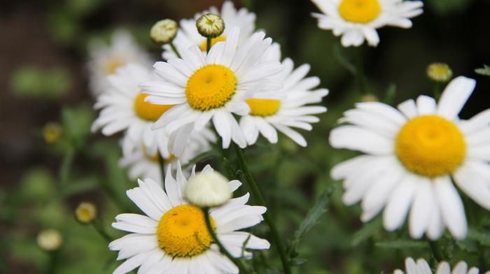 flowers, chamomile, beauty, greenery