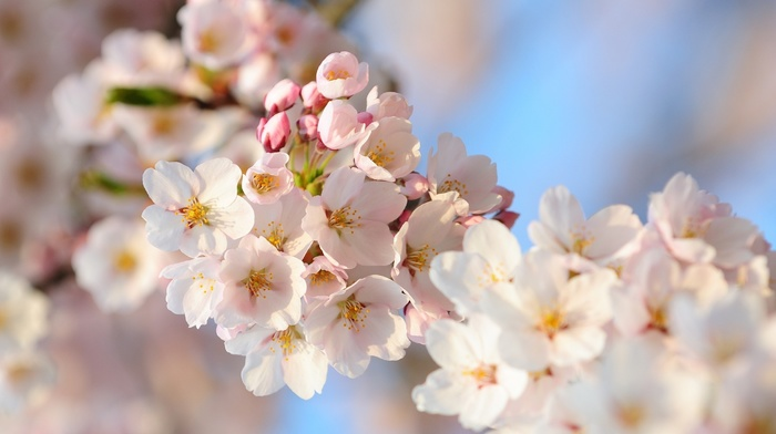cherry, macro, spring, branch, photo, flowers
