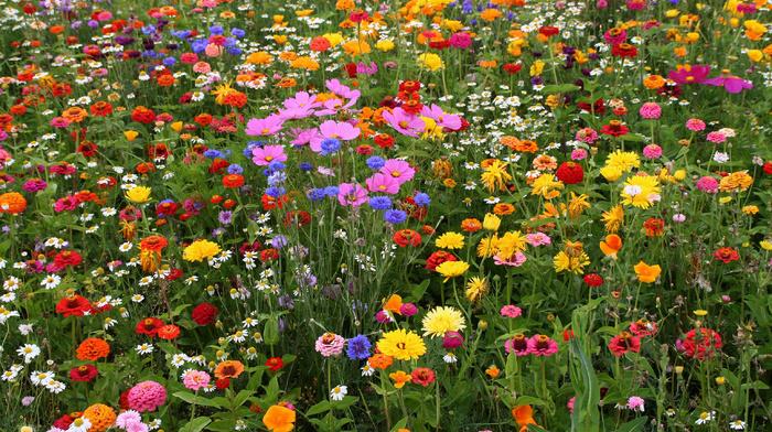 chamomile, grassland, field, flowers
