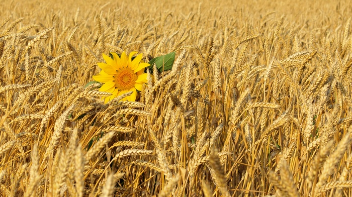 цветок, природа, Украина, поле, пшеница, лето, подсолнух