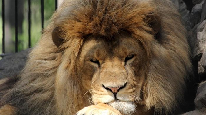 animals, predator, stones, lion, sight