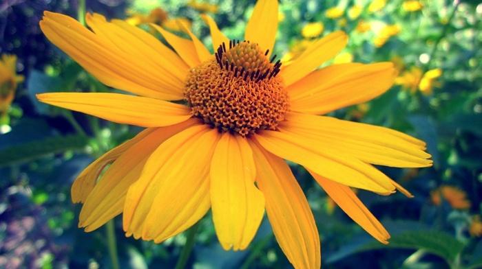 nature, Sun, yellow, flower, macro