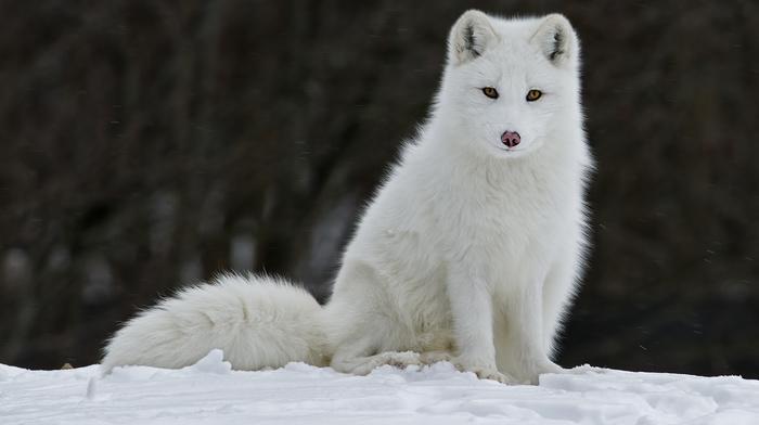 winter, animals, fox, snow