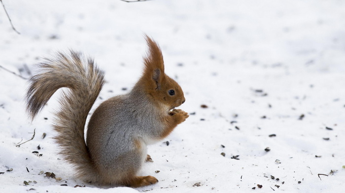 winter, squirrel, snow, muzzle, tail, ears, animals