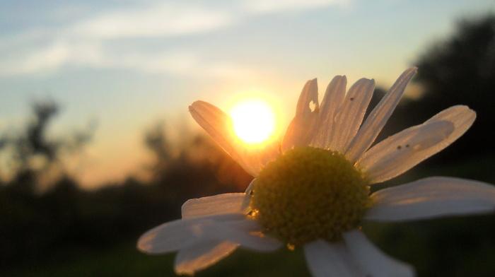 chamomile, Sun, summer
