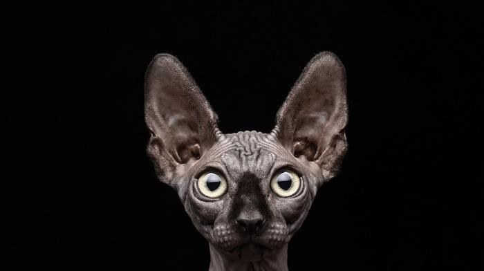 cat, sphynx, black background