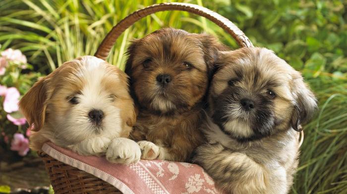 animals, basket, puppies