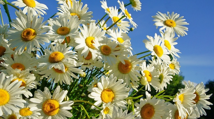 beautiful, summer, flowers, chamomile
