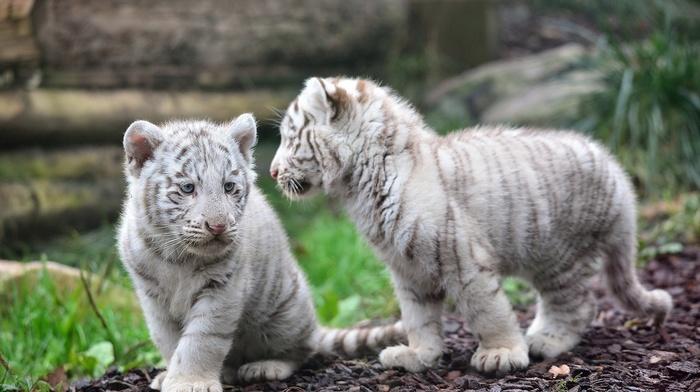 kittens, photo, animals, macro, theme, nature