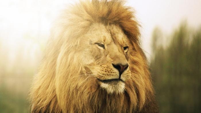 nature, lion, predator, animals, photo, theme, macro