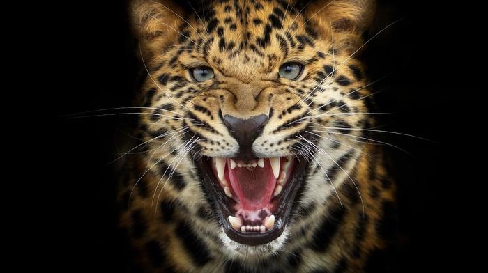 leopard, photoshop, animals, predator, black background