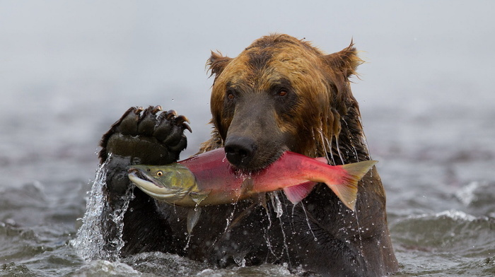 animals, bear, water, fish
