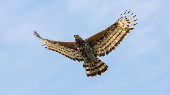 крылья, животные, птица, Венценосный орел, орел, хищник, красота