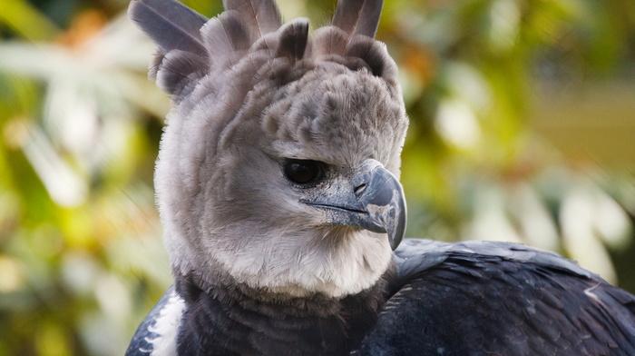 животные, красота, перья, Гарпия, птица, клюв, хищник
