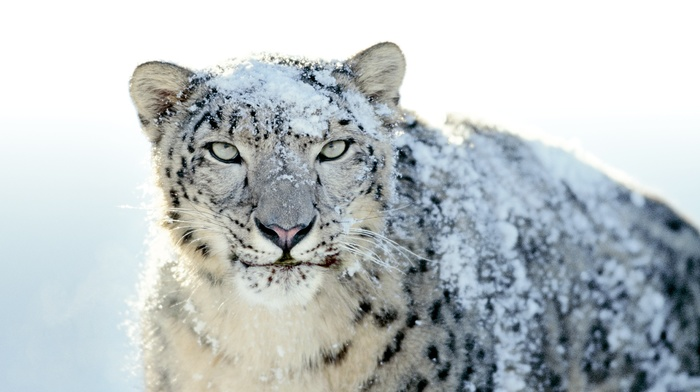 snow leopards, Apple Inc., animals, leopard