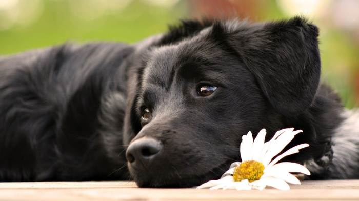 animals, puppies, dog, white flowers