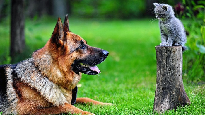 cat, German Shepherd, kittens, animals, tree stump, dog