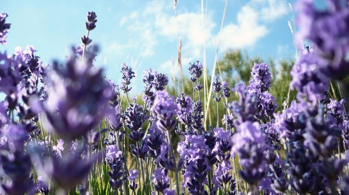 purple flowers, lavender, flowers, nature