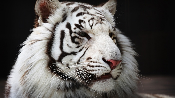 animals, tiger, white tigers