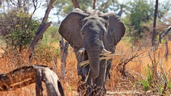 животные, слоны